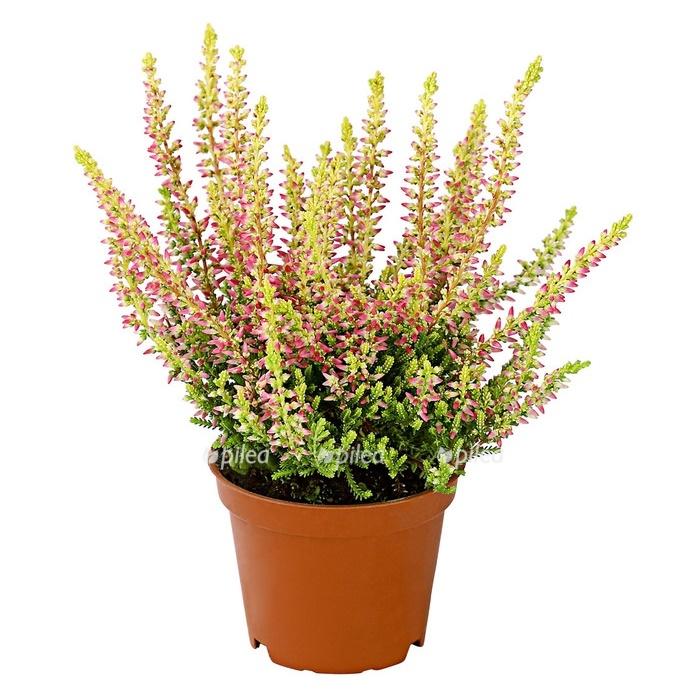 Эрика растение купить в новосибирске, атласных лент хризантемы
