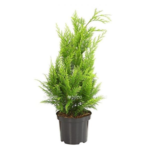 Купить Хвойные растения