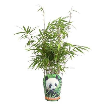 Купить Бамбук Обыкновенный