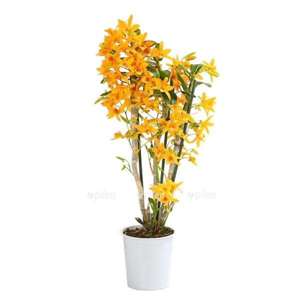 Орхидея Купить Дендробиум Нобиле Оранж