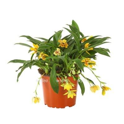 Купить Орхидея Проминея Санлайт