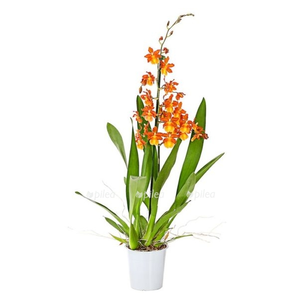 """Купить Орхидея Камбрия «Catatante"""""""