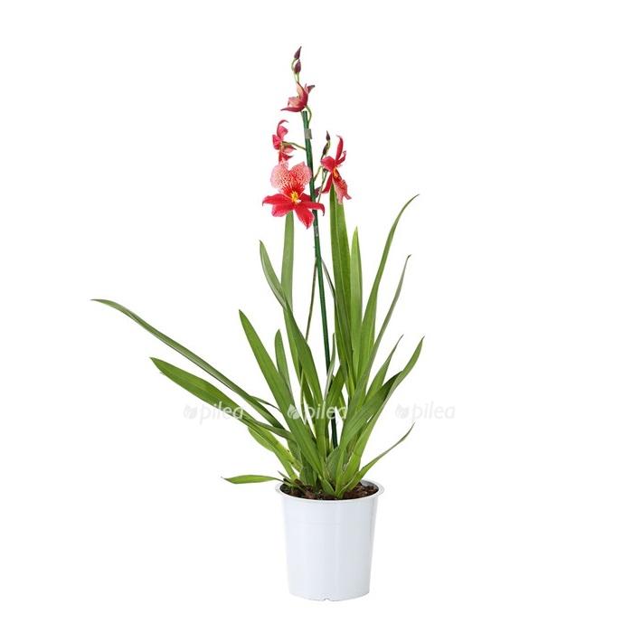 Купить Орхидея Камбрия Нелли