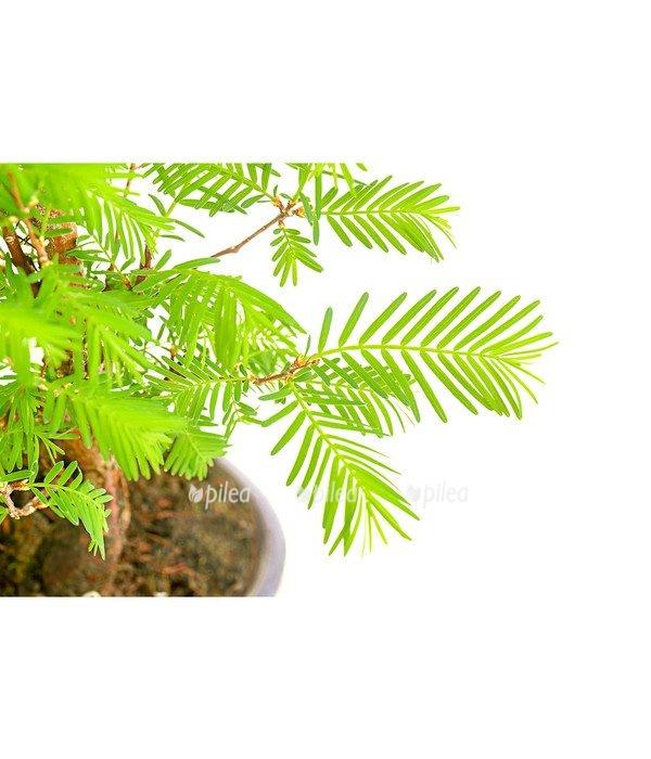 Бонсай «Лес»