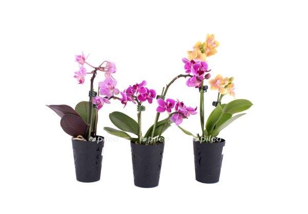 Орхидея Мини Тимбело