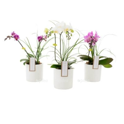 Орхидея Фаленопсис «Botanico Nolina»