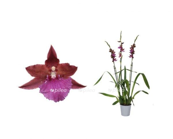 "Орхидея Камбрия ""Alpine"""