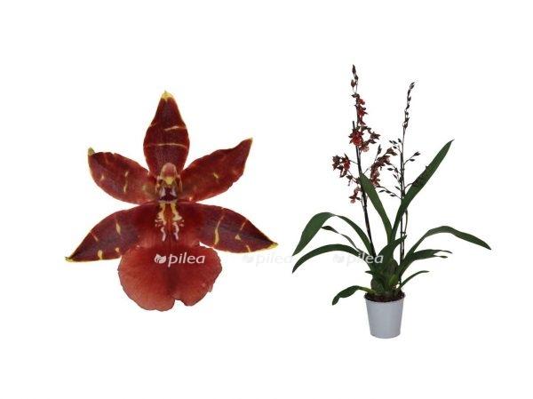 """Орхидея Камбрия """"Black Cat"""""""