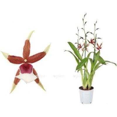 """Орхидея Камбрия """"Eurostar"""""""