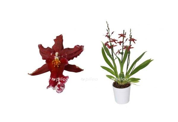 """Орхидея Камбрия """"Lazio"""""""