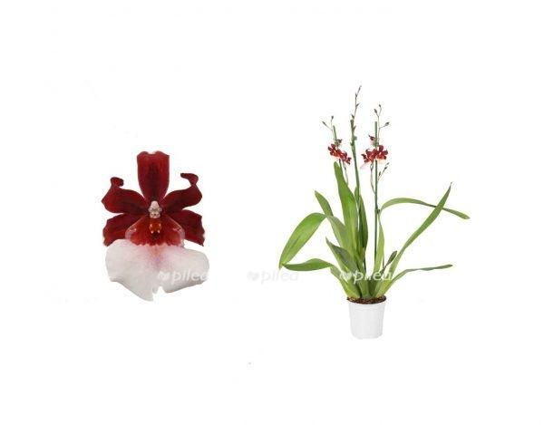 """Орхидея Камбрия """"Barthley Schwarz"""""""