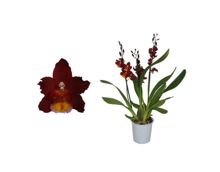 """Орхидея Камбрия """"Red Ruby"""""""