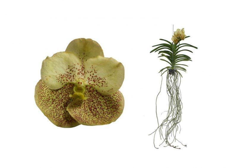 Орхидея Ванда «Yellow Passion»