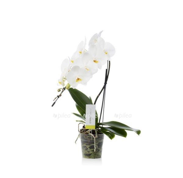 Орхидея Фаленопсис «Formidablo» Белый