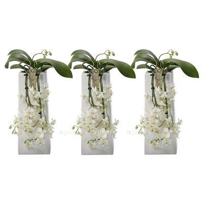 Орхидея Фаленопсис Водопад