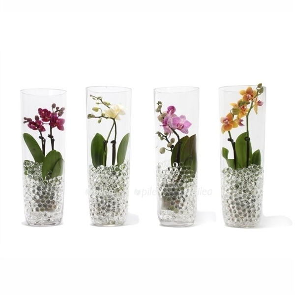 Купить Орхидея Мини в стеклянном вазе