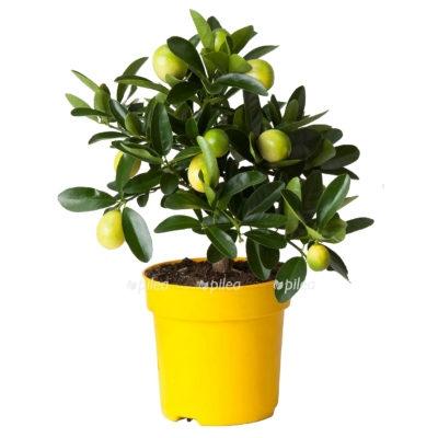 Купить Цитрофортунелла Лимон штамб