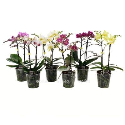 Орхидея Фаленопсис Мультифлора Микс