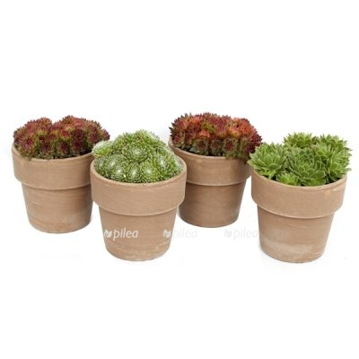 Sempervivum in bruin terracotta pot met rand