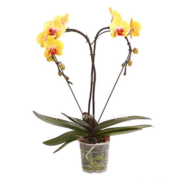 Орхидея Фаленопсис Сердце