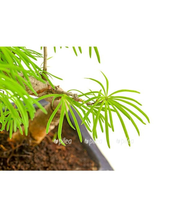 Бонсай Пальмовый Клён