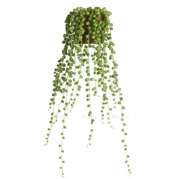 Купить Сенецио Роули подвесной