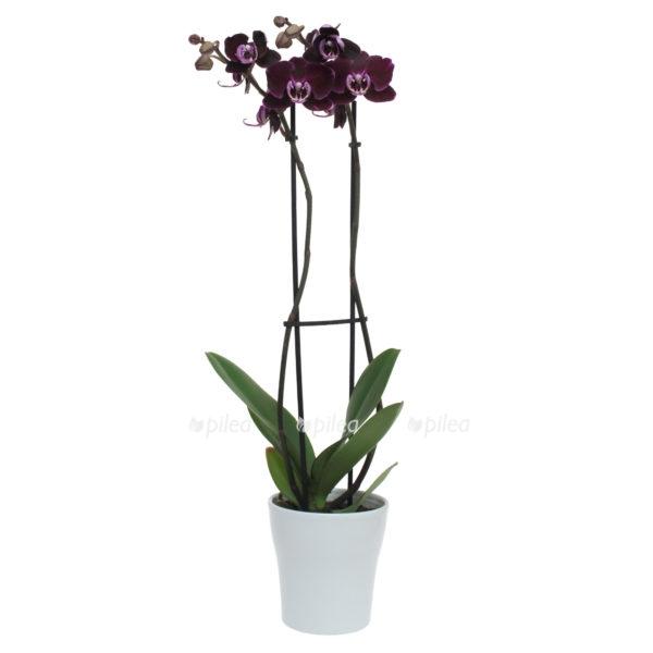 Купить Орхидея Фаленопсис Блэк Видоу