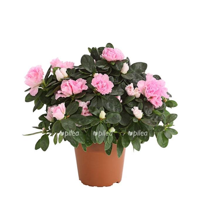 Купить Азалия Розовая