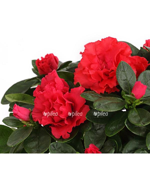 Купить Азалия Красная