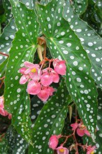 Растения для кафе: Герань