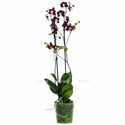 Орхидея Фаленопсис Блэк Видоу