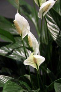 Растения для кафе: Спатифиллум