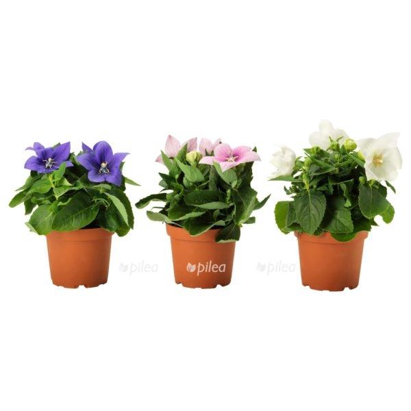 Купить Платикодон Крупноцветковый