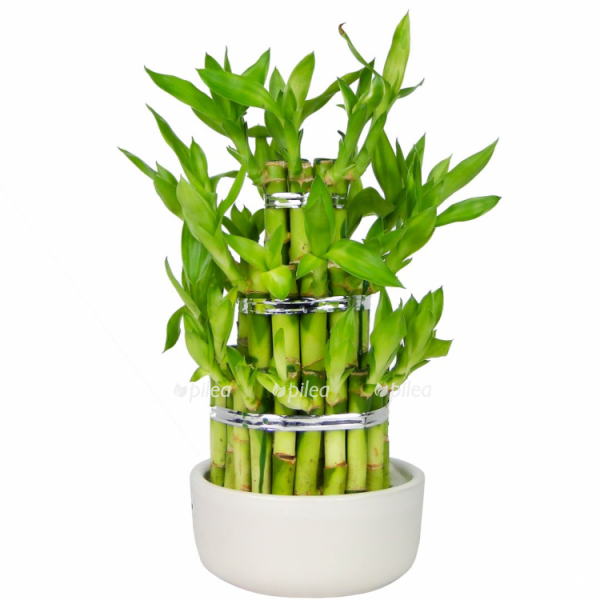 Купить Драцена Сандариана бамбук
