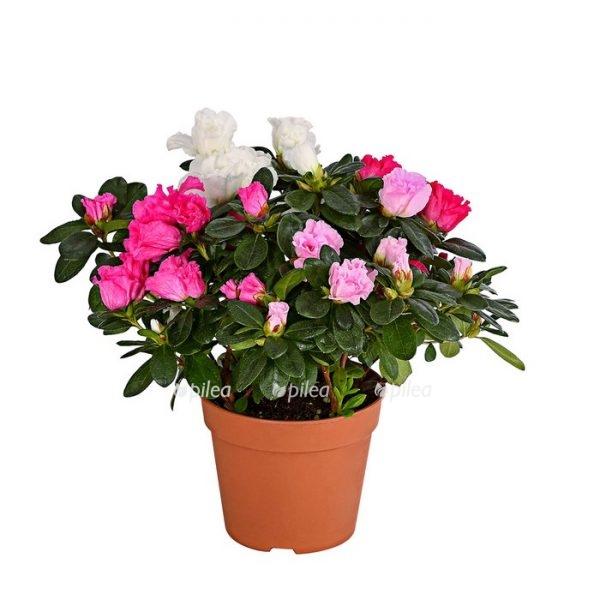 Купить Азалия Бело-Розовая