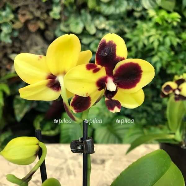 Купить Орхидея Фаленопсис Мини Спот Перзл