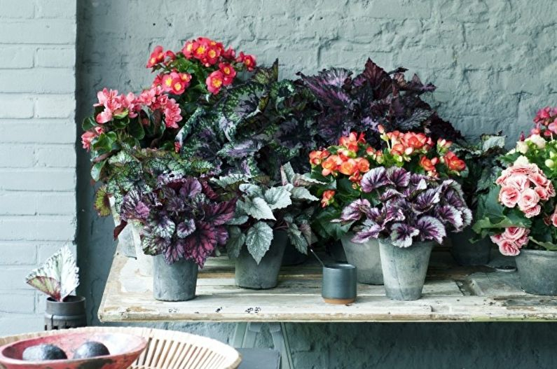 Бегония купить растение