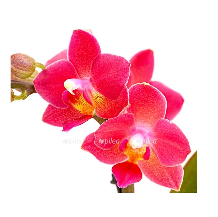 Купить Орхидея Фаленопсис Мини