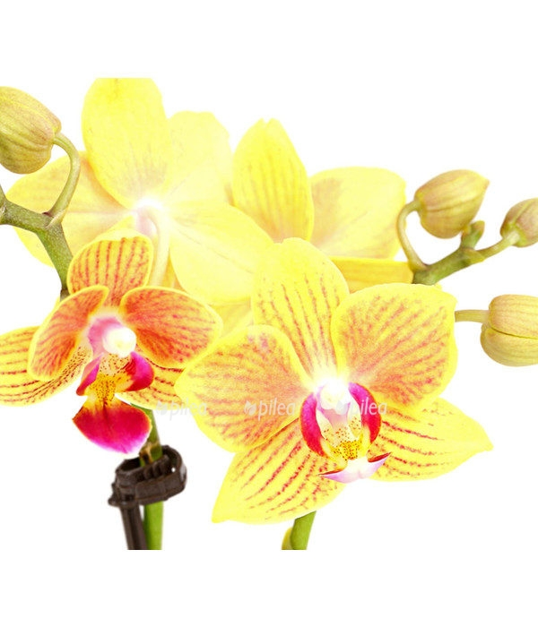 Купить Орхидея Фаленопсис Мини жёлтый