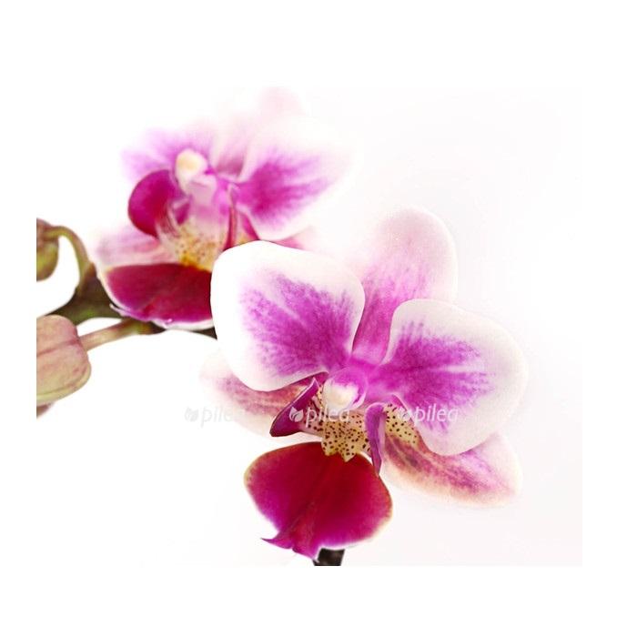 Купить Орхидея Фаленопсис Мини нежный
