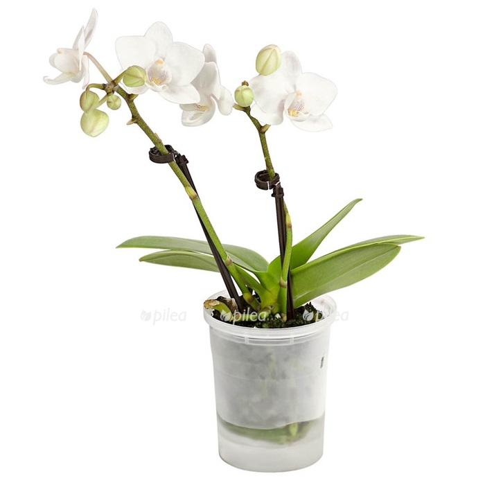Купить Орхидея Фаленопсис Мини белый