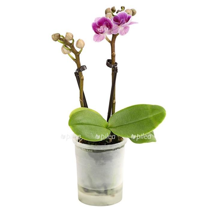 Купить Орхидея Фаленопсис Мини сиреневый