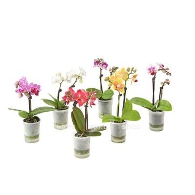 Купить Орхидея Мини Премиум