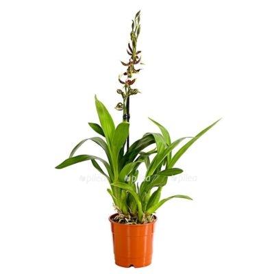 """Купить Орхидея Камбрия """"Samurai"""""""
