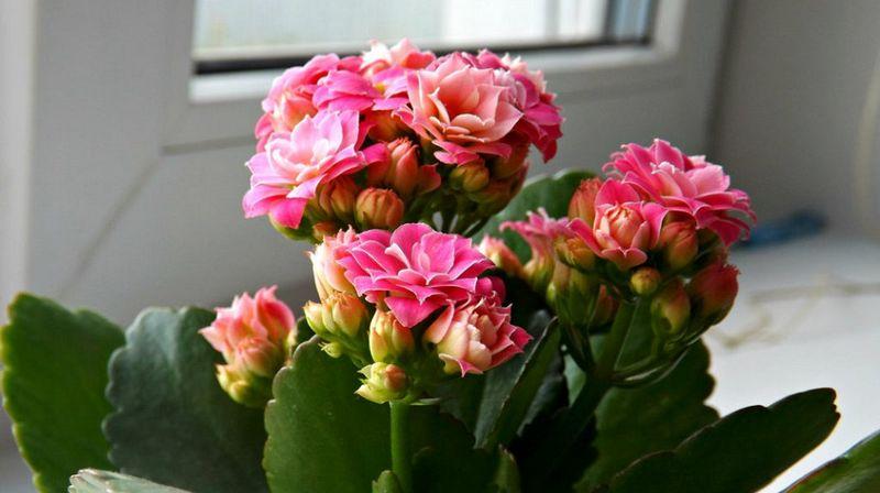 Каланхоэ купить цветок