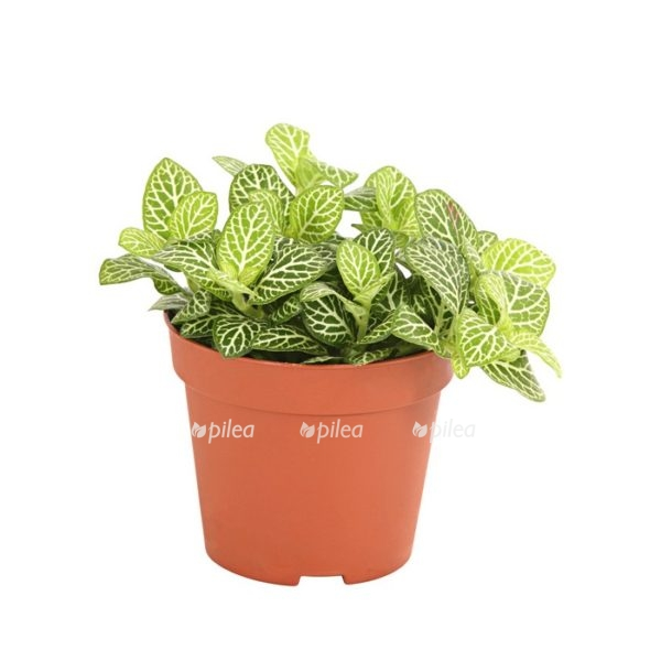 Купить Фиттония Зелёная