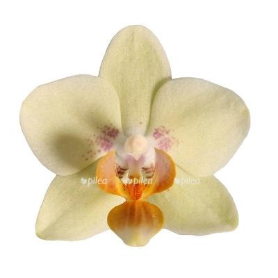 Купить Орхидея Фаленопсис Эдита