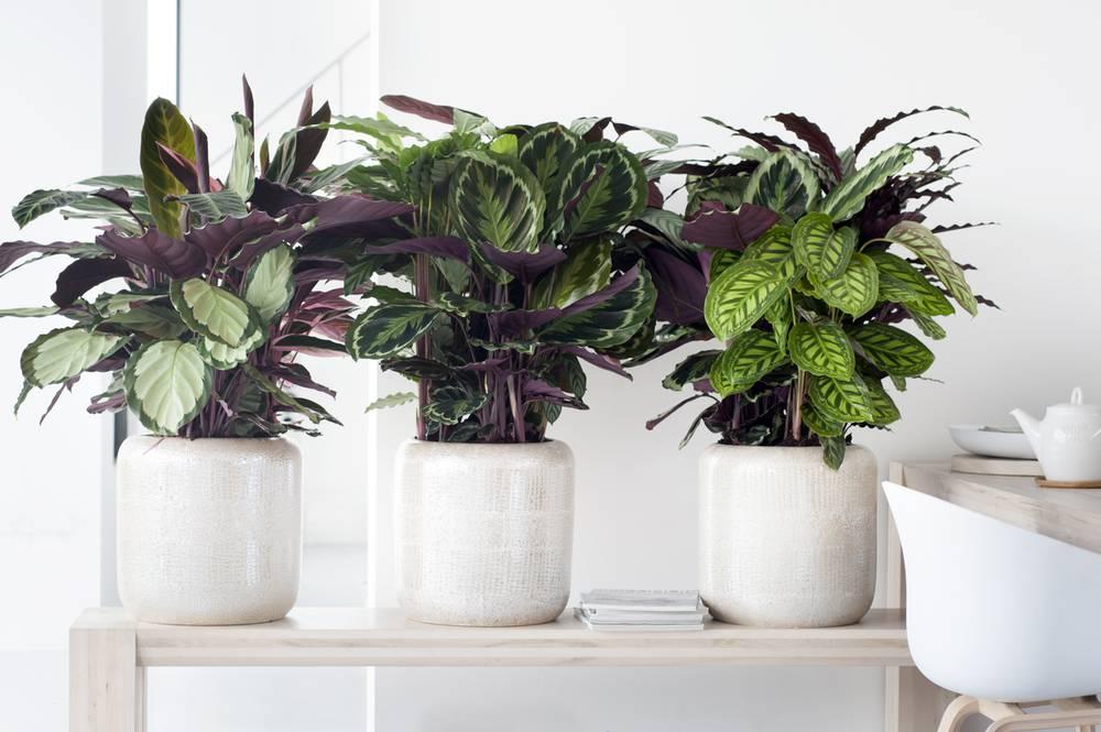 Калатея купить растение