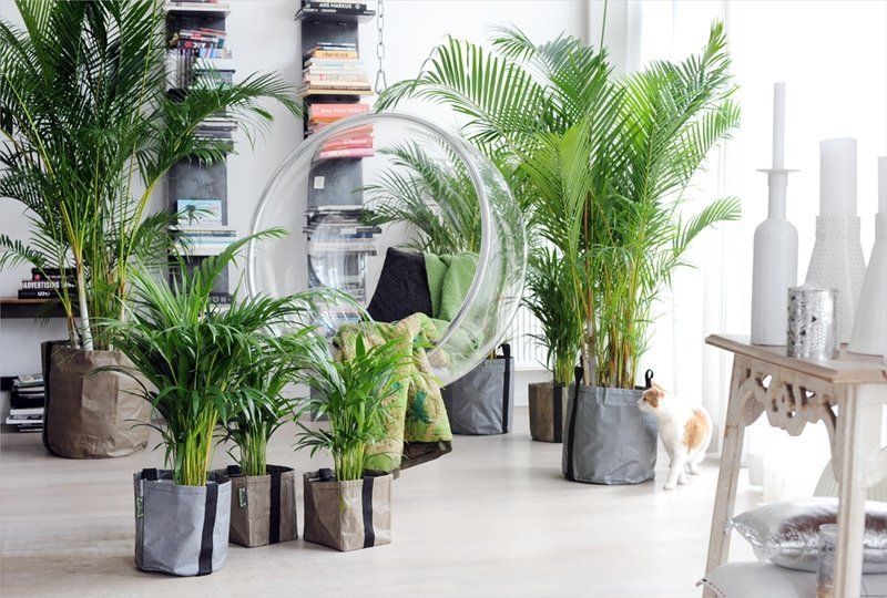 Купить пальму комнатную
