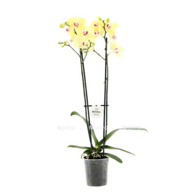 Купить Орхидея Фаленопсис Мирафлор